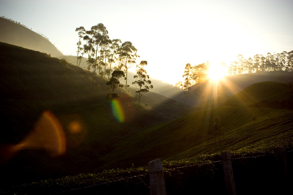 Tea Plantation Sunrise