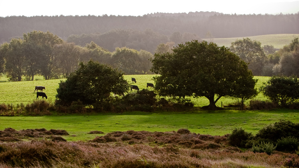 English Meadows Grazed Upon