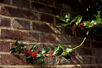 Holly Growing Along the Brick